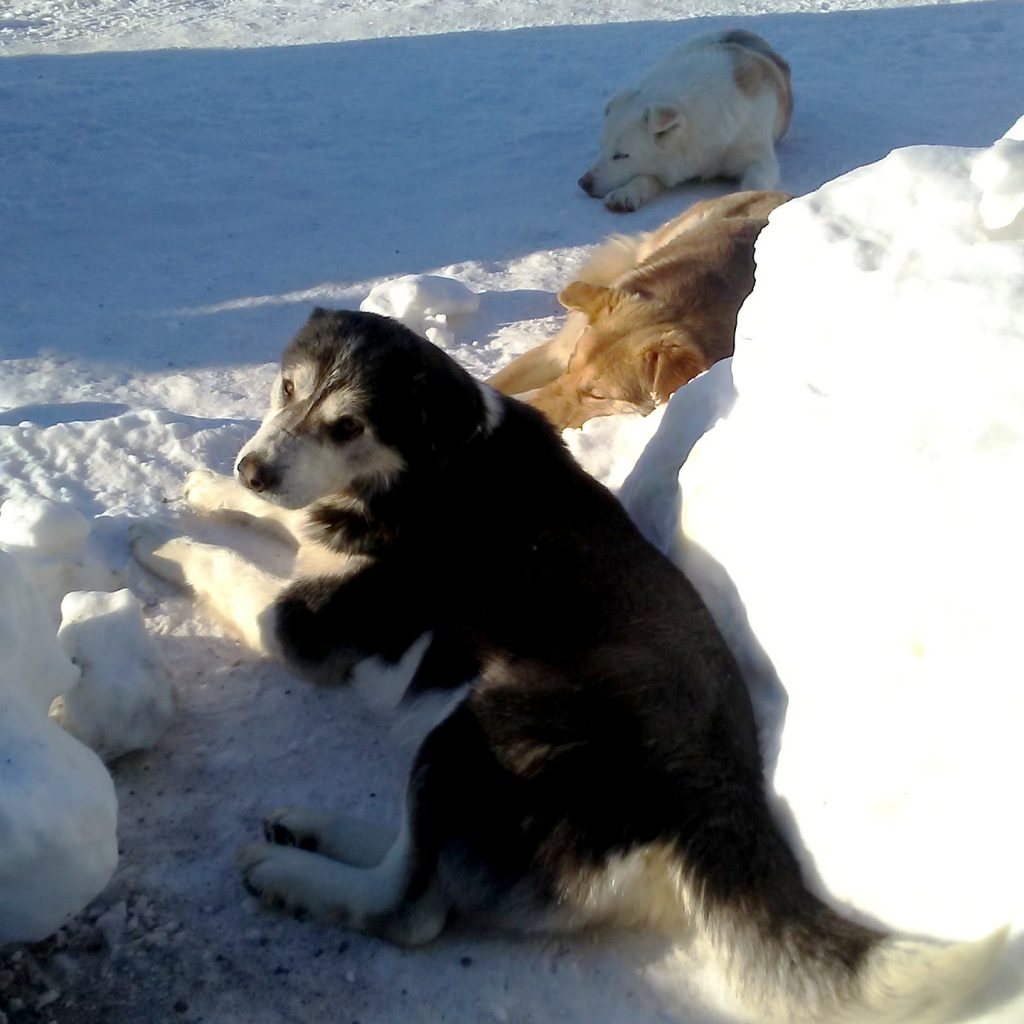 Teach For Canada teacher Kata befriended these three dogs shortly after moving to Bearskin Lake First Nation
