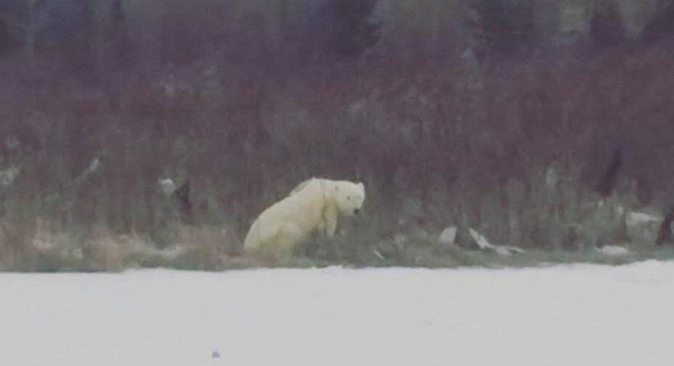 A polar bear in Fort Severn First Nation