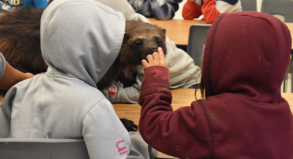Grade 3 students touch the nose of a wolverine