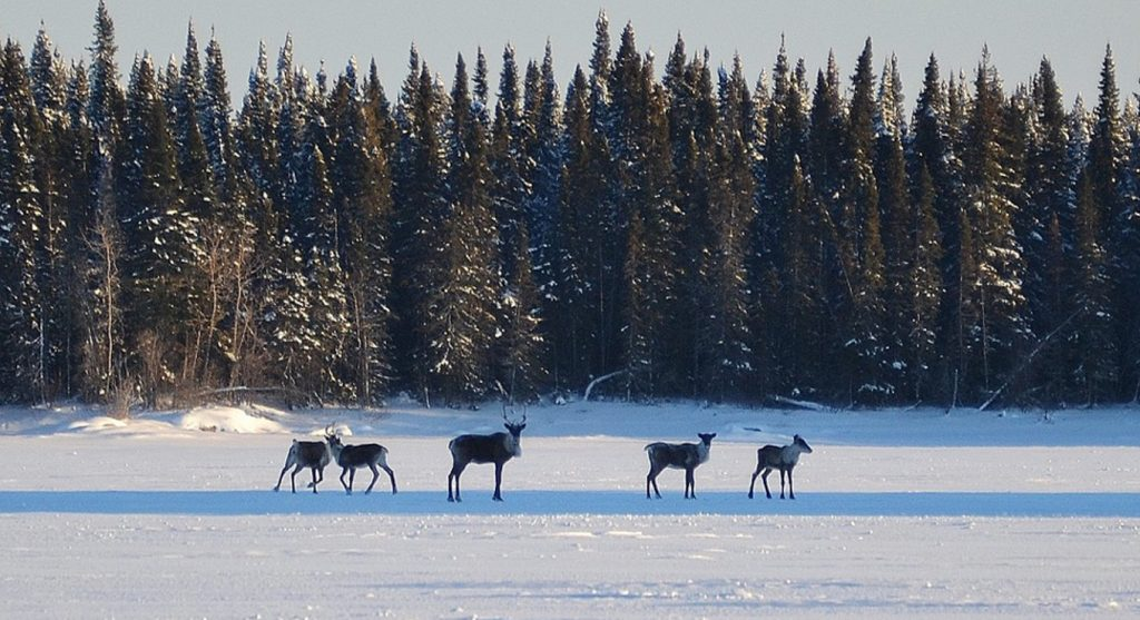 Moose on Frozen Lake